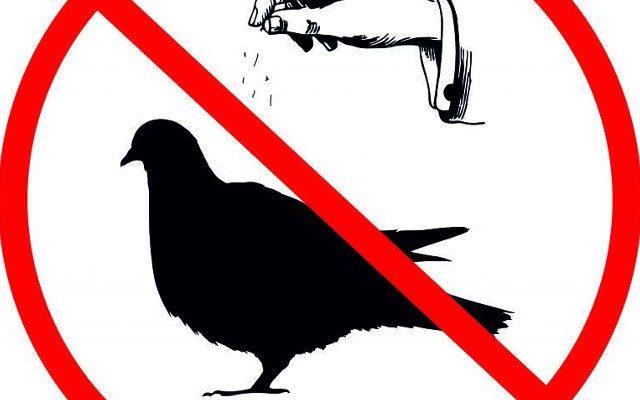 zakaz dokarmiania gołębi we Włoszczowie